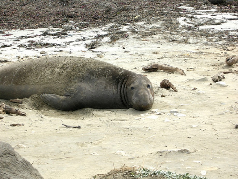 Trip photo #17/25 Male Elephant Seal
