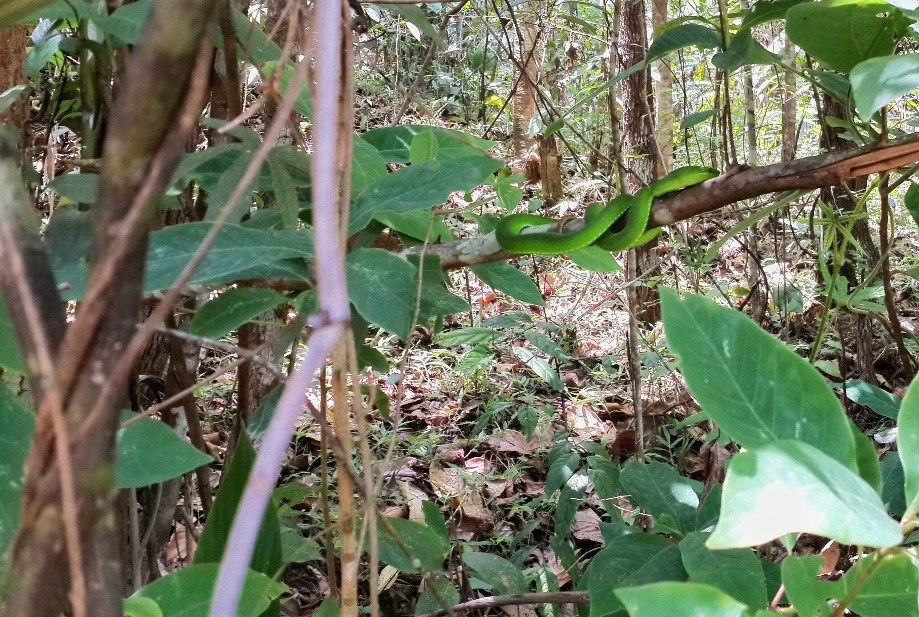 Trip photo #24/34 Pit Viper, Most poisonous snake in Thailand.  I would have loved to get closer but didn't want to die for a photo.