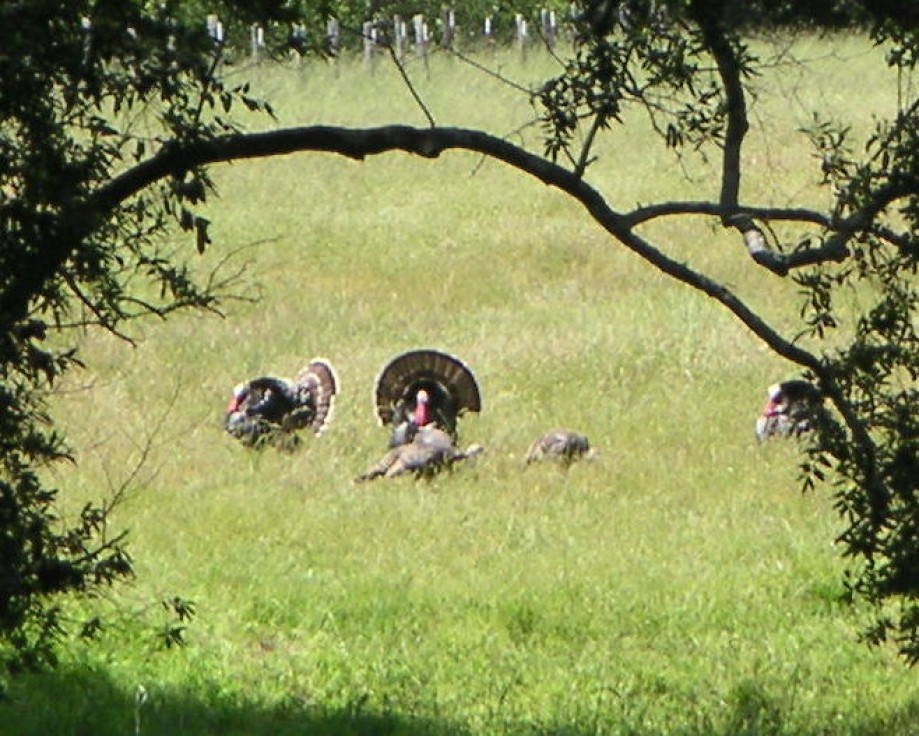 Trip photo #19/20 Wild turkeys along Francis Drake Blvd.