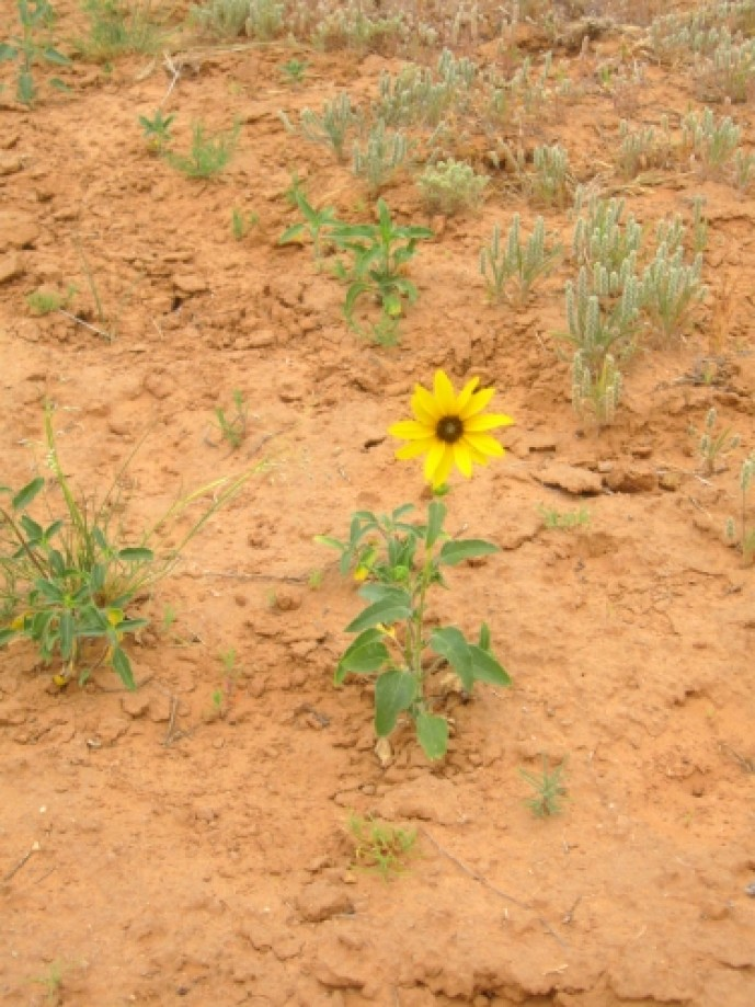 Trip photo #2/29 Wild Sunflower