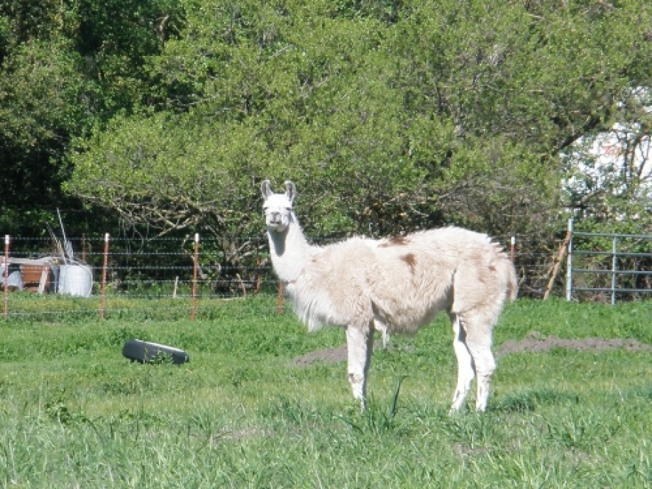 Trip photo #7/19 LLama lawn mower