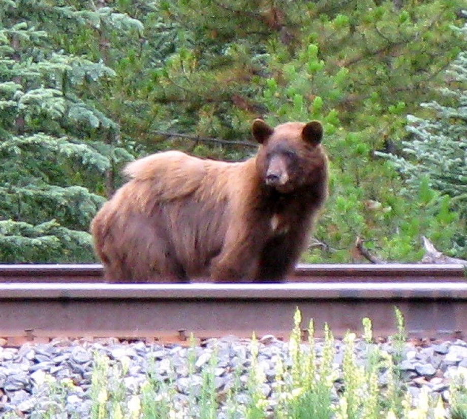 Trip photo #4/33 Bear on the train tracks