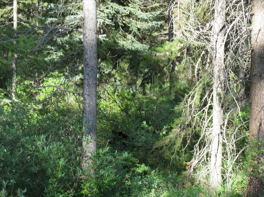 Trip photo #3/33 Head of black bear hidden in bushes
