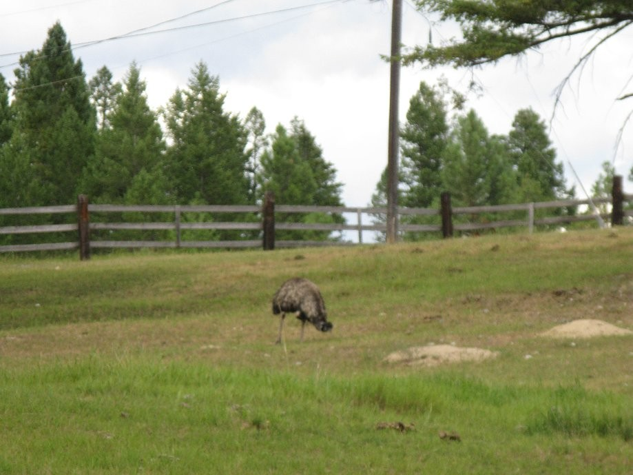 Trip photo #5/6 Emu's by the campground