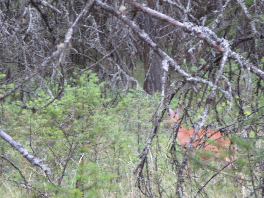 Trip photo #1/6 White tail deer in the campground