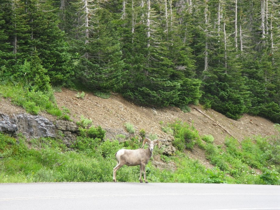 Trip photo #23/56 Bighorn sheep