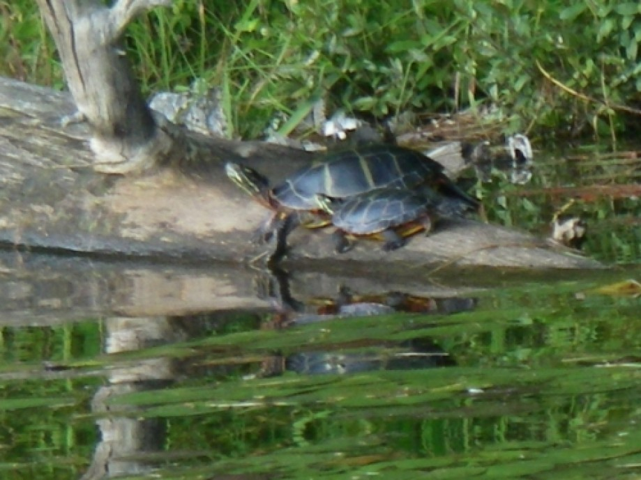 Trip photo #7/32 turtles in sun close