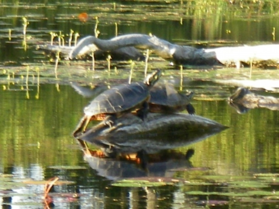 Trip photo #30/32 pair of turtles close