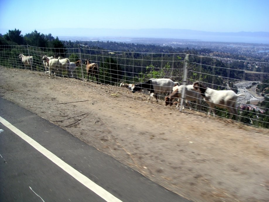 Trip photo #23/38 'Goats 'R Us' at work clearing the weeds
