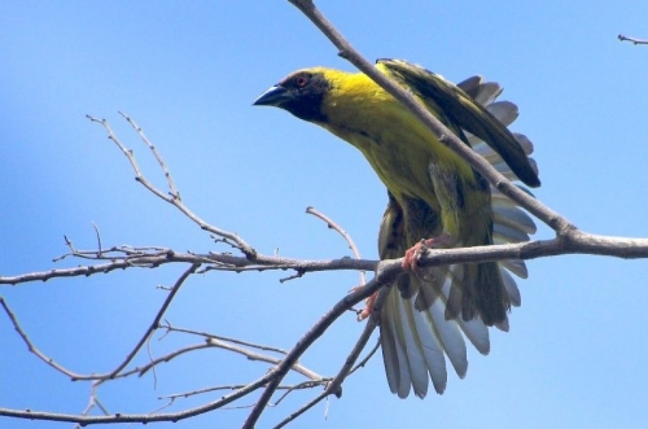 Trip photo #8/11 Village Weaver (Bellier in creole) Ploceus cucullatus