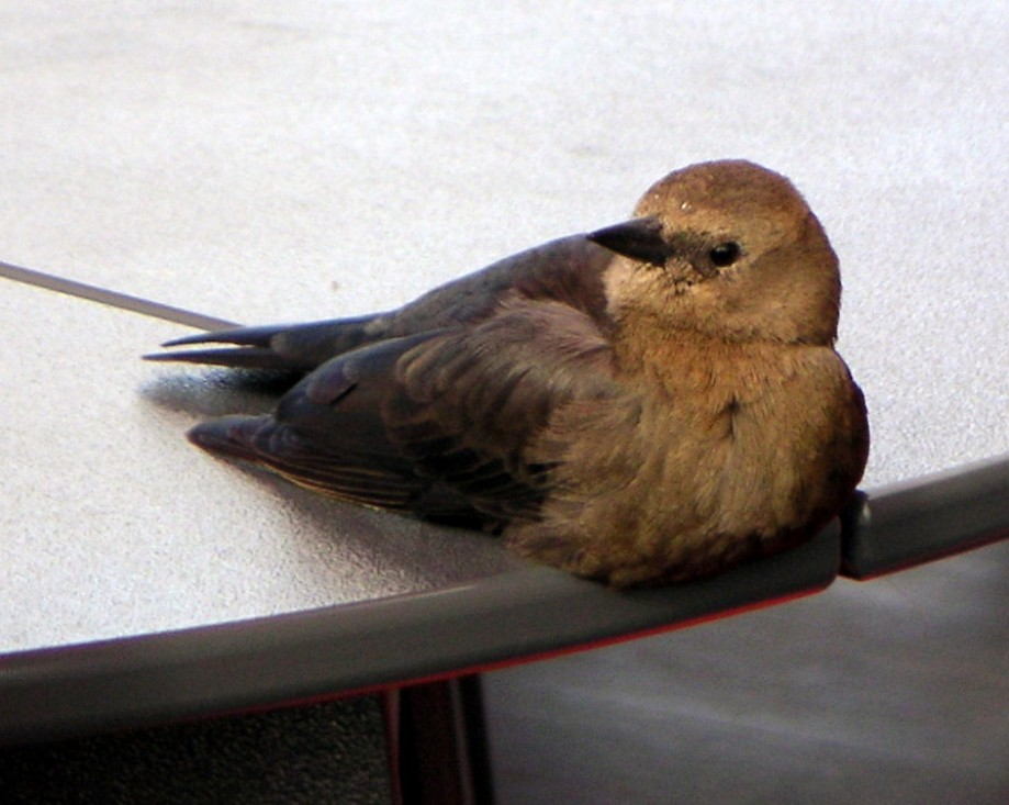 Trip photo #1/2 Bird appeared to have a sore leg/foot - stayed close by on a table.