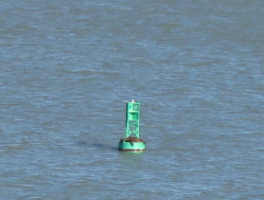Trip photo #26/29 Usual lone sea lion on the buoy