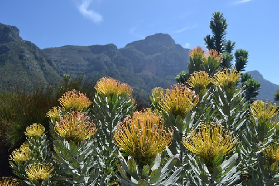 Trip photo #20/22 Pincushion Proteas with Devil's Peak in the distance