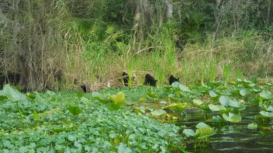 Trip photo #8/8 Five little black feral pigs munching on river vegetation....pretty cute!