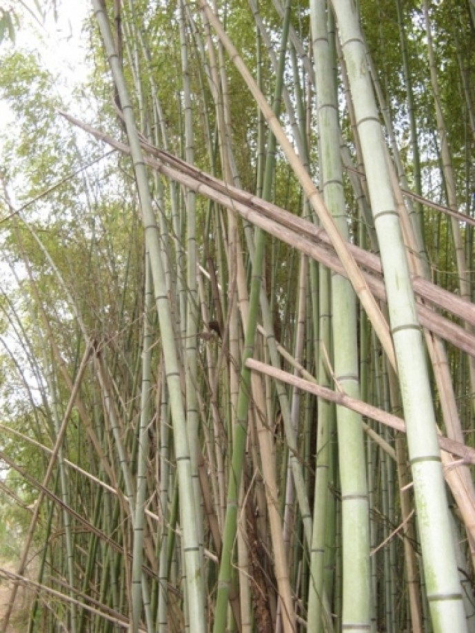 Trip photo #2/15 Bamboo along Laurel Bluff Trail