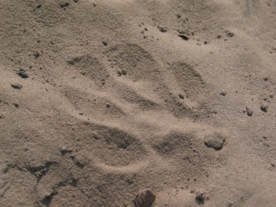 Trip photo #1/14 Leopard footprint