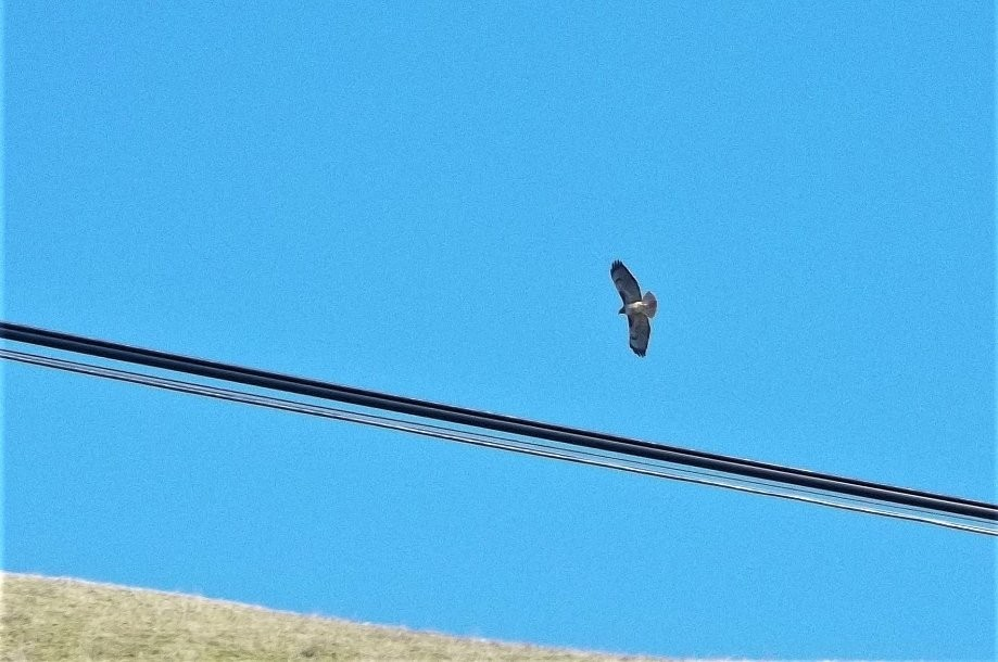 Trip photo #4/15 Redtail hawk