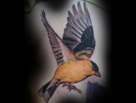 Goldenfinch  Color  Realism Ribs