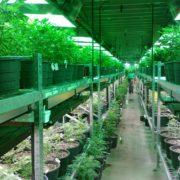 life insurance for medical marijuana