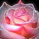 See_thro_pink__flower