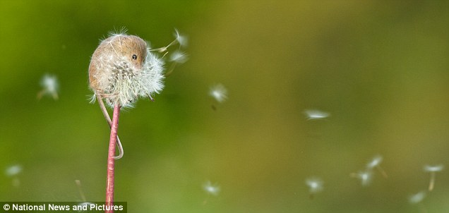 'I can't remember whether it was the breeze or the mouse blowing the dandelion,' said Mr Binstead