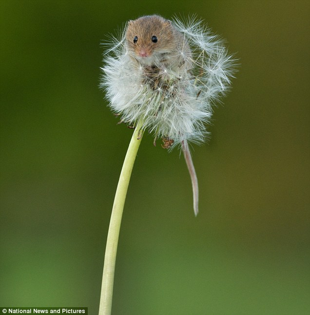 The mouse is Europe's smallest rodent, at about 6cm long and weighs less than a 2p coin