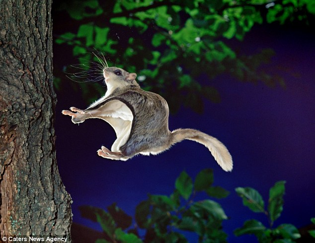 Jump: The tiny squirrels leap up to 150-feet through the trees
