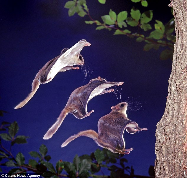 Jump: Southern flying squirrels, pictured, are lightweight and eat mostly insects, nuts and acorns