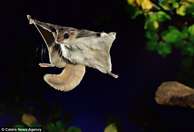 Soar: A southern flying squirrel, pictured, becomes more bird than mammal as it stretches out its body into a natural glider