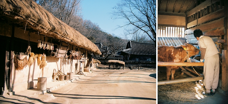 Thatched roof and Korean cows