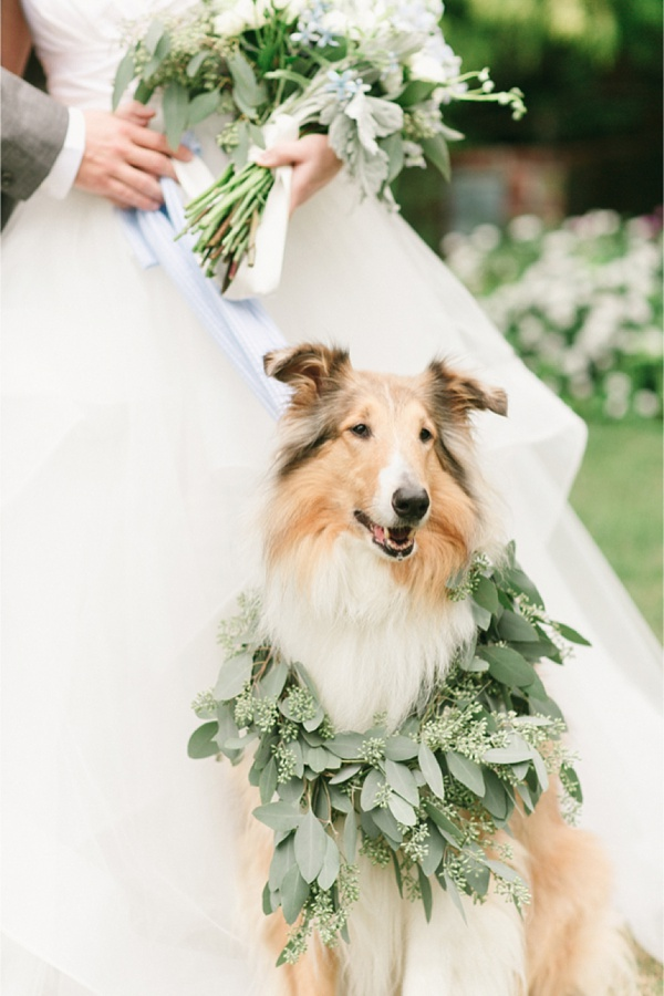 wedding collie dog with eucalyptus collar in coastal virginia
