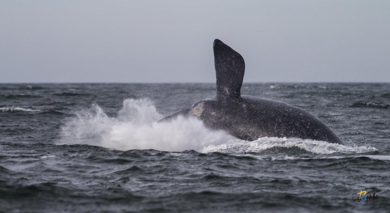 Ballenas en las costas de Rocha, Uruguay
