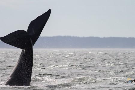 Recomendaciones para el avistamiento de ballenas en la costa de Uruguay
