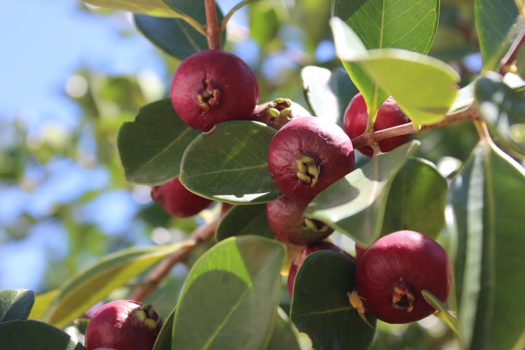 Arazá: cosecha, propiedades y elaboraciones en Rocha
