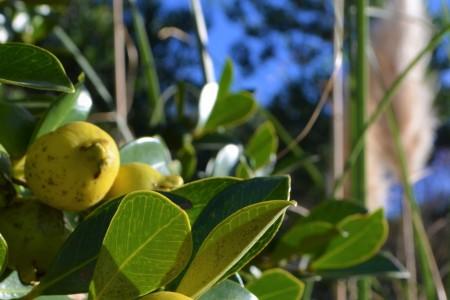 Arazá amarillo, fruto nativo de Rocha
