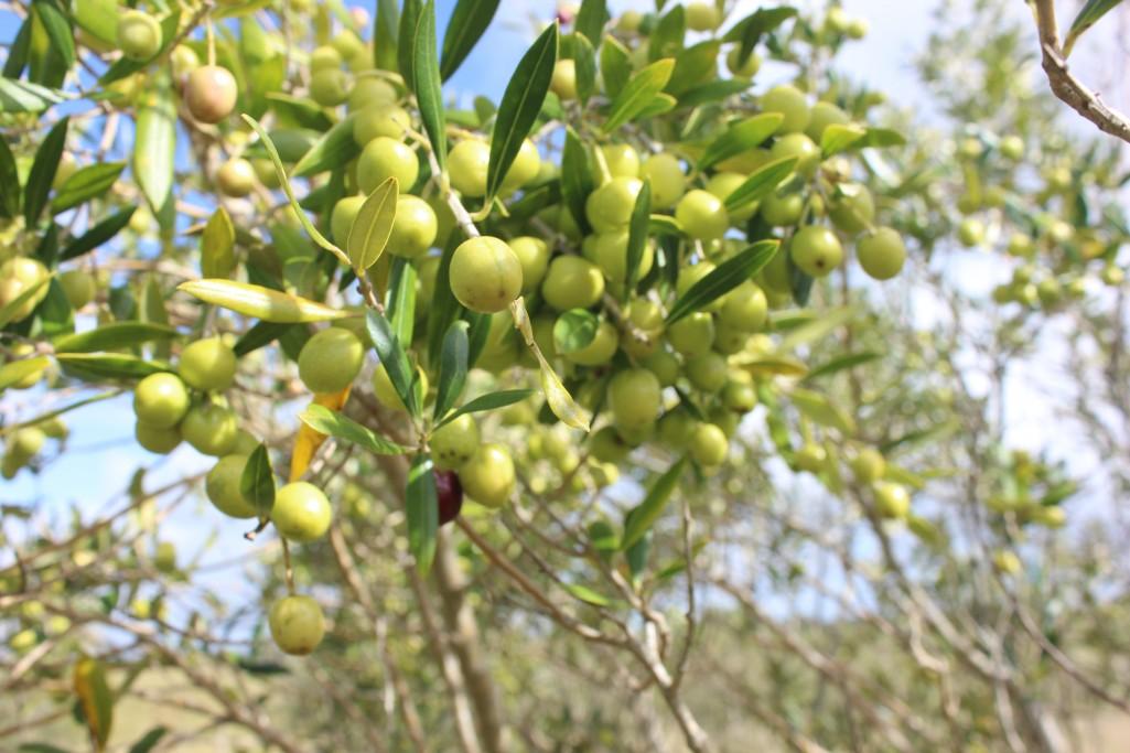 Plantación de olivos en Rocha - Altos de Castillos