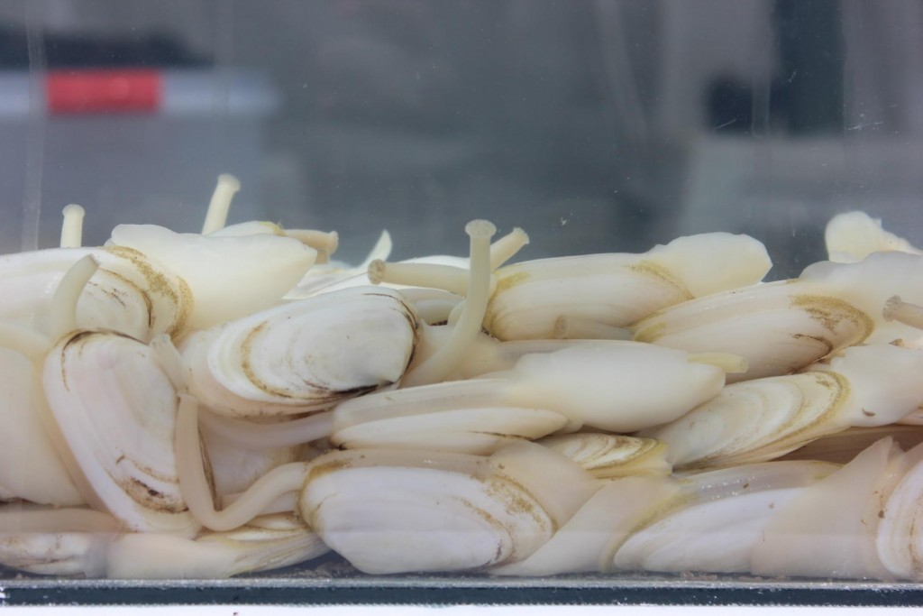 Almejas amarillas de la costa de Rocha