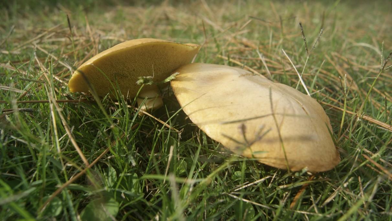 Boletus luteus o Suillus luteus, hongos silvestres en Rocha