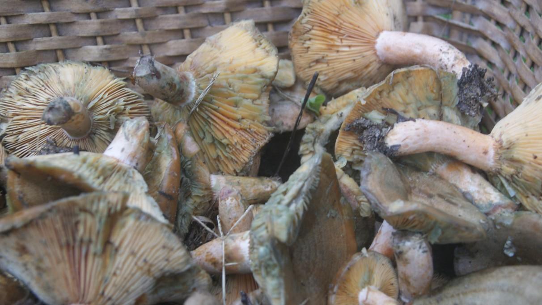 Recolección de hongos silvestres en Rocha