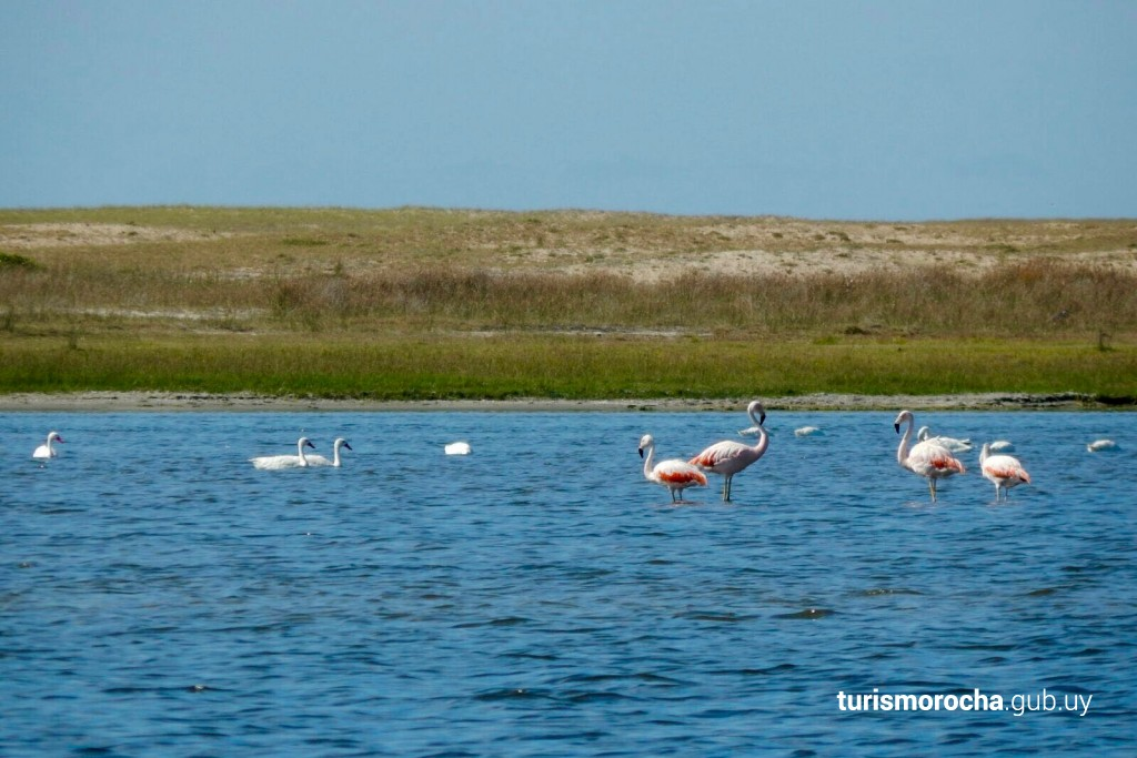 Gansos blancos y flamencos rosados en la Laguna de Rocha