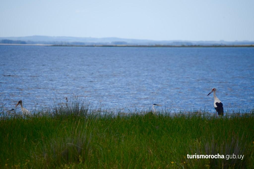 Cigüeñas en la Laguna de Rocha