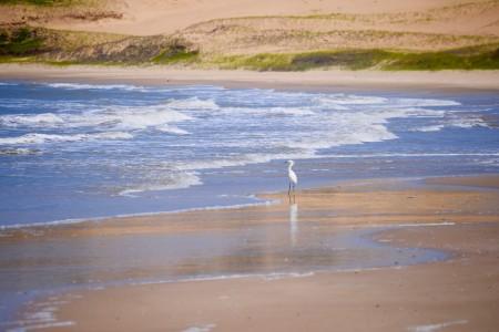 Garza blanca en la playa del Cerro Verde