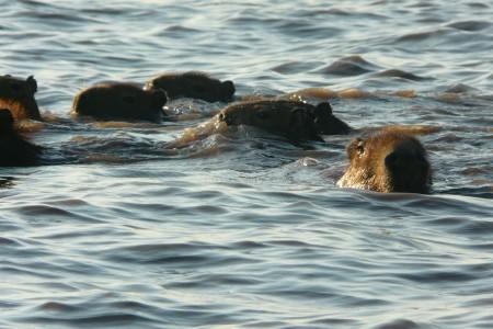 Carpinchos en la Laguna Negra