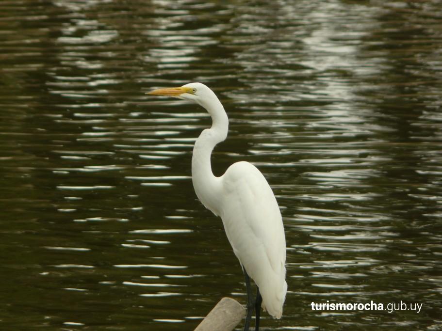 Garza blanca sobre el arroyo Valizas