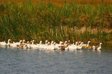 Gansos en la Laguna de Rocha