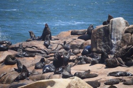 Natural Reserve of sea lions in Cabo Polonio, Rocha, Uruguay