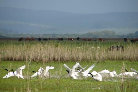 Cisnes de cuello negro en la laguna de Castillos