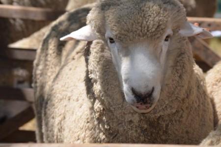 Fiesta ovina 2019 en 19 de Abril