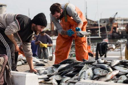 La zafra de pesca de anchoas en el Puerto de La Paloma beneficia a unas 300 familias dedicadas a esta actividad