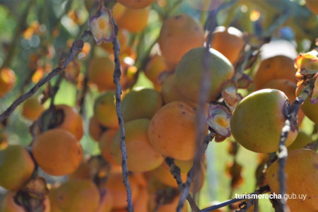 Butiá: el diamante anaranjado de las tierras de Rocha. Cosecha, propiedades y platos típicos